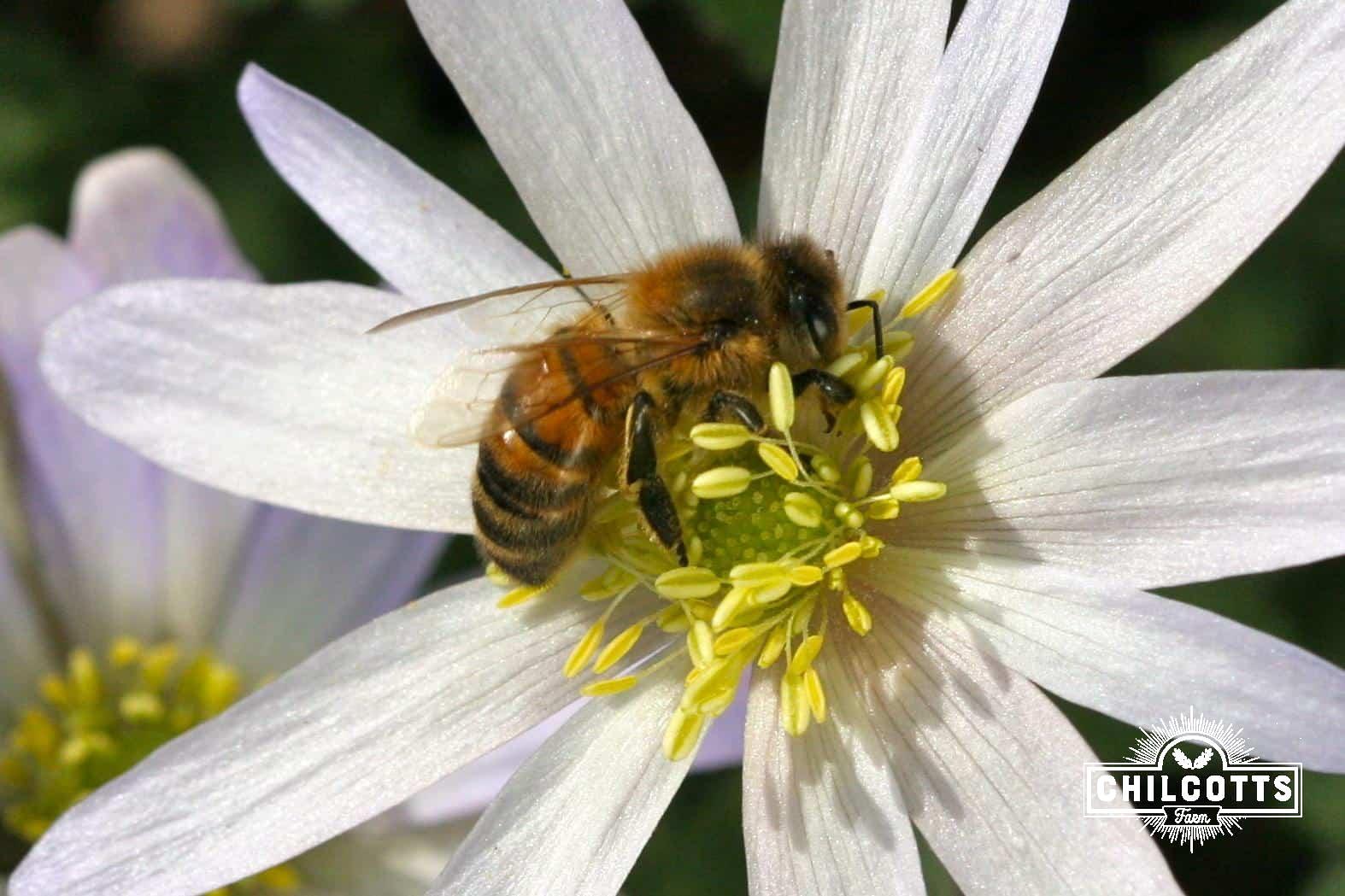 Honey bee on anemone in spring