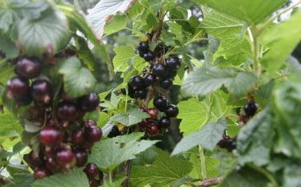 blackcurrants growing at chilcotts farm