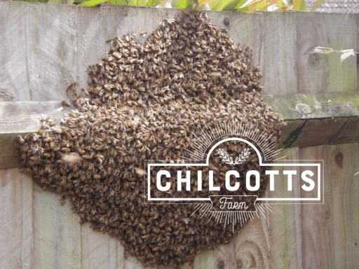 Swarm of honey bees clustered on a garden fence. Allen local swarm collector at Chilcotts Farm collecting swarms from Bickington & Fremington near Barnstaple
