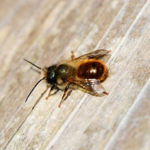 There are many other types of bees, the solitary bee is another example.