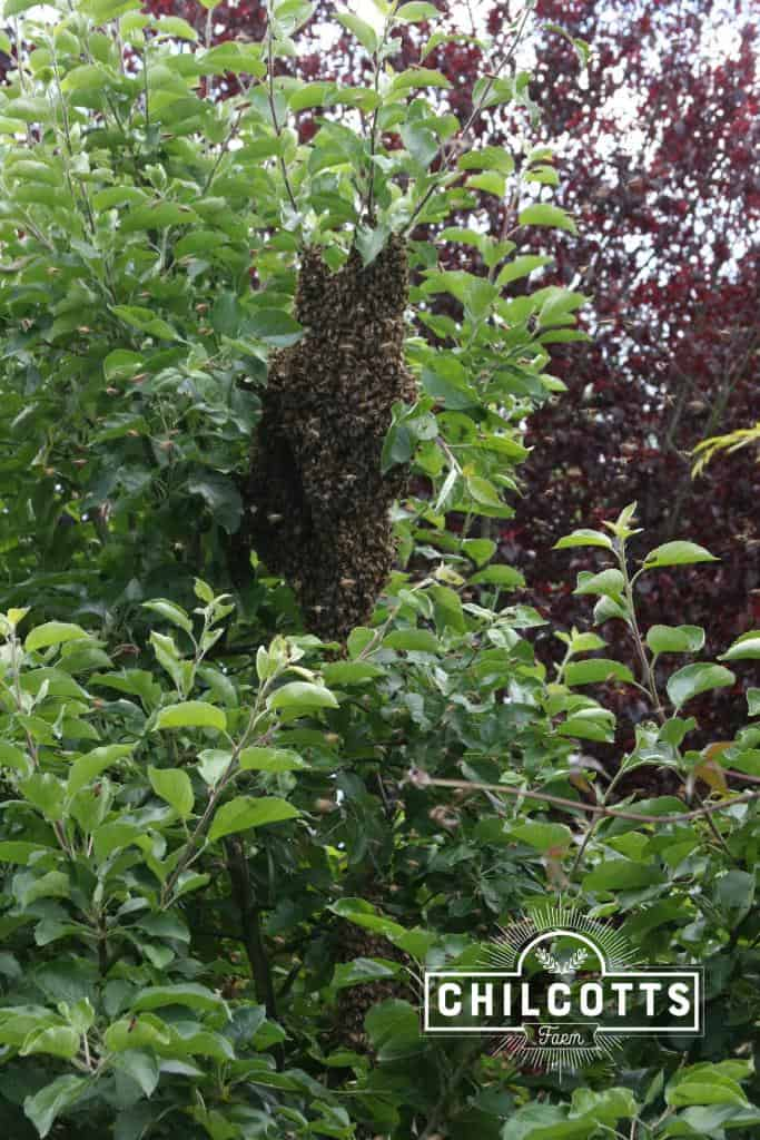 Swarm of Honey Bees in an Apple Tree