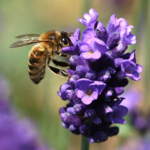 chilcotts farm honey bee on lavender