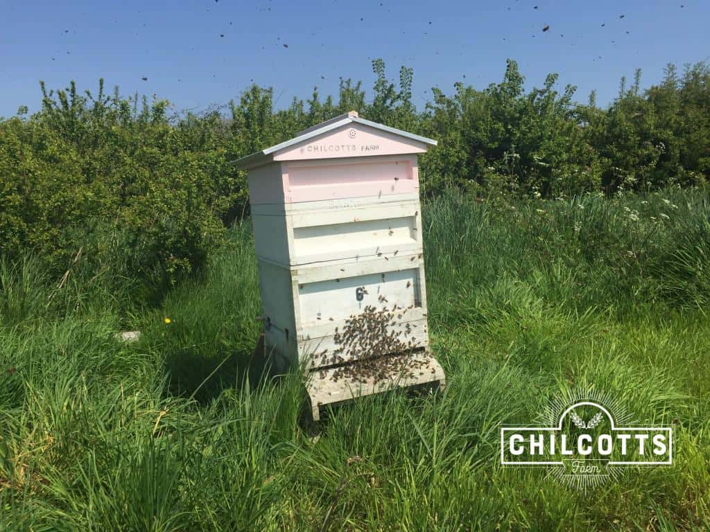 Bees beginning to swarm coming out the hive - Chilcotts Farm