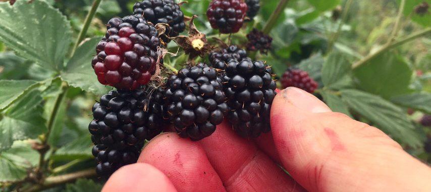 Picking delicious blackberries at Chilcotts Farm Bickington