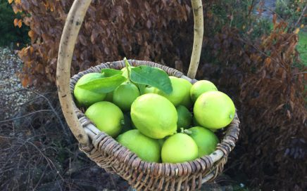 Freshly picked limes from our lime trees grown in North Devon, UK