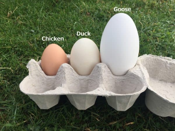 Chicken Duck Goose Egg Size Comparison