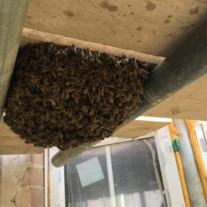 Honey Bee Swarm in Barnstaple on a Building Site Underneath Scaffolding Boards