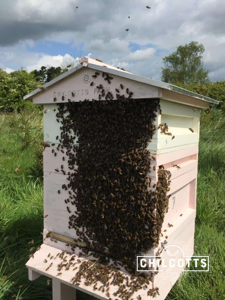 Honey Bees swarming over the front of the hive