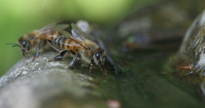 Even Honey Bees need to drink. Honey bee drinking water.