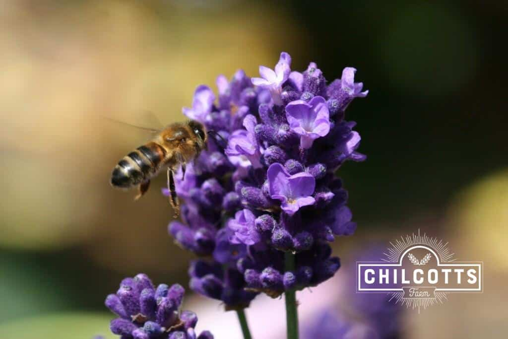 Honey Bee On Lavender in July UK North Devon - Chilcotts Farm