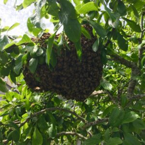 Swarm of honey bees in a plum tree