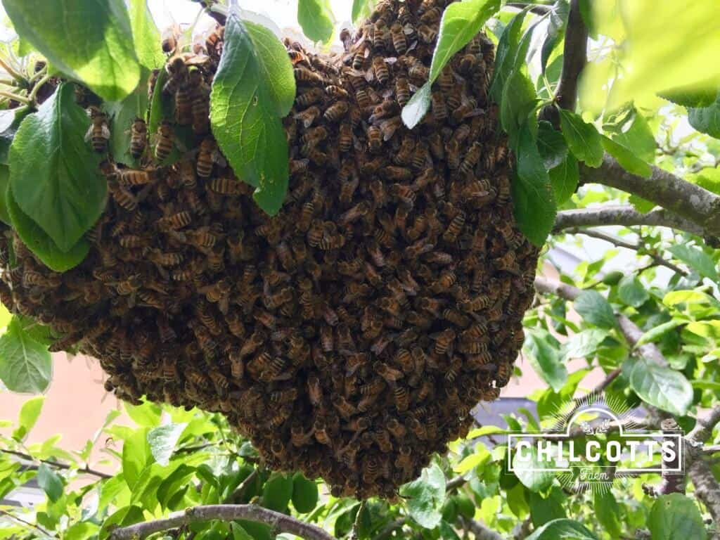 Honey Bee Swarm hanging from a Plum Tree in May