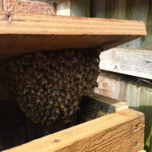 Swarm of Honey Bees in a compost bin
