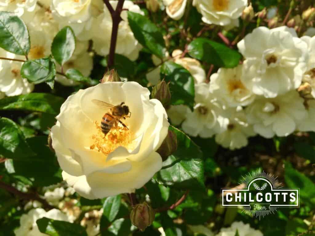 Honey Bee on at Rose RHS Rosemoor