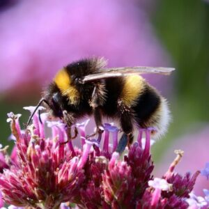 There are many types of Bumble Bee which all look slightly different, but are typically characterised by their big fluffy bodies.