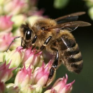 This is a Honey Bee.  The Honey Bee is the only bee to gather nectar and produces honey.