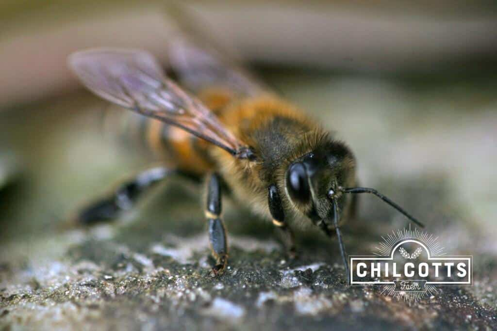 Honey bee on a pebble
