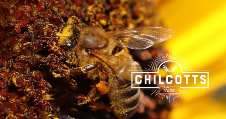 Honey Bee on sunflower covered in yellow sunflower pollen with an orange pollen basket
