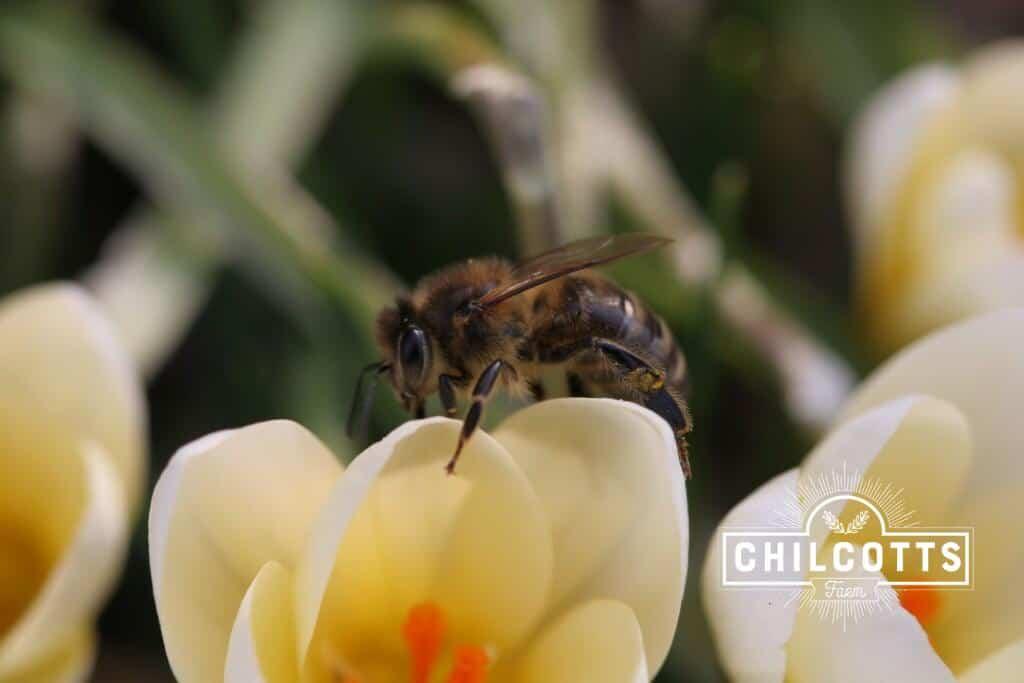Honey Bee on Crocus in spring