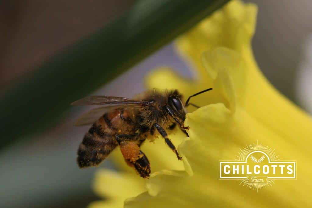 Honey Bee on Daffodil with a full pollen basket