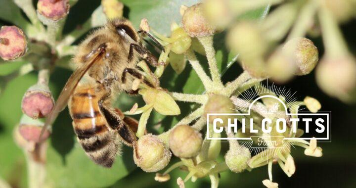 Honey bee on an ivy flower in autumn