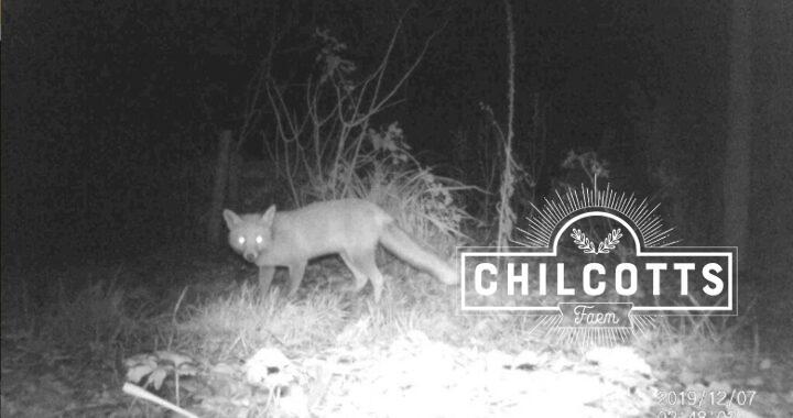 Fox at night in December North Devon Barnstaple